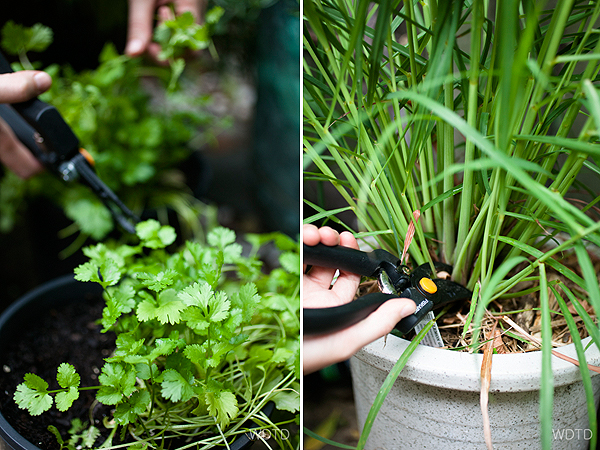 Picking some fresh coriander and lemongrass for the fish curry